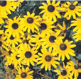 Black-Eyed-Susan1